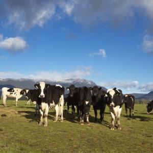 Cattle_1B2A1208