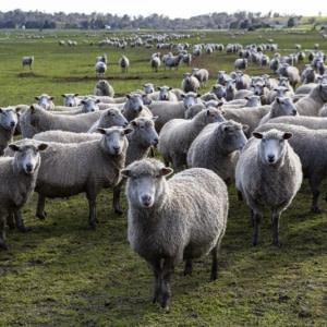 sheep_1B2A1253