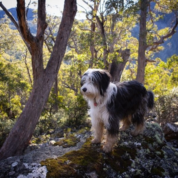Pippin the Tasmanian Smithfield
